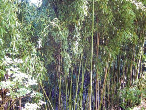 Bambuswald (1)