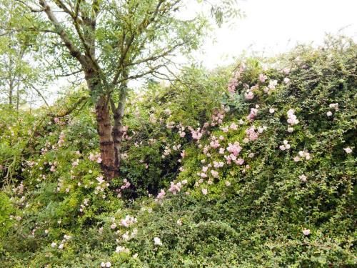 Heckenrosen und andere Blüten am Damm entlang des Radwanderweges (1)