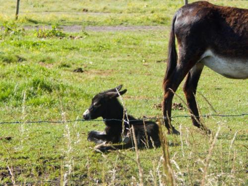 Mulimama mit Fohlen