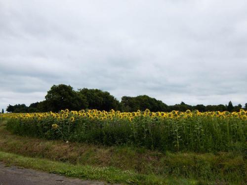 Sonnenblumenfeld-am-Wegesrand ergebnis